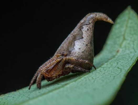 Sorting Hat Spider Makes List of Top 10 New Species for 2017