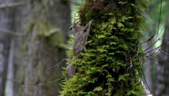 Flying Squirrel Species Discovered by Scientists
